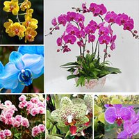 Wholesale Butterfly orchid seeds phalaenopsis orchids seeds Bonsai plants Seeds potted plants for home garden flower planters