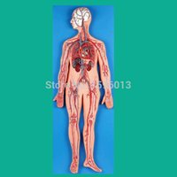 anatomical systems - Circulatory System Model Blood Circulation model Anatomical Model of Blood Circulation System