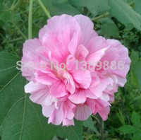Wholesale pieces Hibiscus seed cottonrose hibiscus planting seasons flowering plants