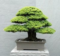 Tree Seeds pine tree - 5 Japanese Pine Bonsai Tree Seeds Easy growing windy shape DIY Home Garden Bonsai SS045