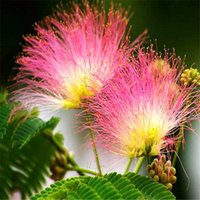 Cheap Wholesale 10 pieces Bag Mimosa Silk Tree Seeds Red Albizia Flower Bonsai Seedlings Seed For Park Garden Plant
