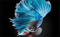 betta fish fight - BETTA Siamese blue Fighting Fish colorful tropical Home Decoration Canvas Poster x36 inch Silk Poster wall decor
