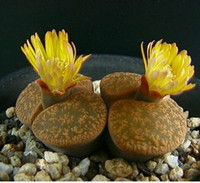 Cheap 100 seeds Lithops Pseudotruncatella Living Stone Rare Succulent Seeds Home Garden Plant seeds