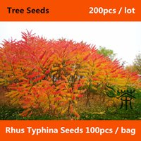 Wholesale Strong Adaptability Rhus Typhina Seeds Flowering Plant Staghorn Sumac Tree Seeds Fast growing Beautifying Stag s Horn Sumach Seeds