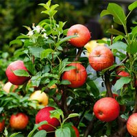 Wholesale bonsai apple tree Seeds Bonsai Tree Fruit Delicious Good Feeling