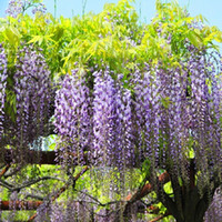 autumn flowering trees - 100PCS Floribunda Chinese Wisteria Tree Vine Sinensis Seeds Deciduous Flower Autumn Seed DIY dandys