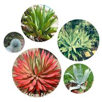 agave plant - Garden Plant Genuine Rare Agave seeds Plant seeds herbs seeds Succulent Plant Bonsai Seed