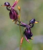 Wholesale 2017 HOT GARGEN Beautiful Flying Duck Orchid Caleana seeds Caleana major seeds per