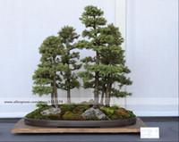 Cheap Bonsai seeds 50 pcs Japanese White Spruce Pine, Pinus parviflora, Tree Seeds Bonsai Evergreen DIY Home gardening !