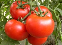 big red tomatoes - 1 Original pack seeds pack Big Red Tomato Organic Edible Tasty Tomato B042