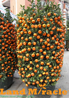 Wholesale 50 seeds Pack Balcony Potted Orange Seeds Bonsai Fruit Trees Citrus Seeds Tangerine Seed M204