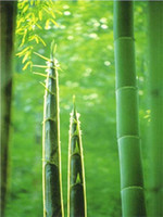 Wholesale 200 giant moso bamboo seeds for DIY home garden