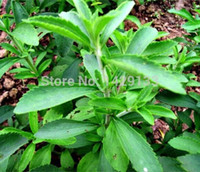Wholesale Stevia Seeds Stevia Herbs Seeds Green Herb Stevia rebaudiana Semillas For Garden Planting
