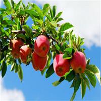 al por mayor árbol bonsai-100 PC de Apple Semillas Bonsai árbol bonsai de frutas raras tree-- América rojo delicioso jardín de las semillas de manzana para los plantadores maceta