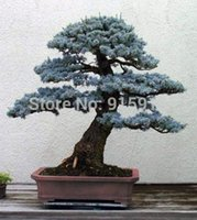 Wholesale Bonsai Colorado Blue Spruce Picea pungens seeds Evergreen tree