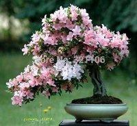 azalea pot - 50 precious seeds flower seeds potted azalea seasons Yi kinds balcony plants Gift