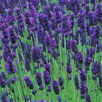 bee flower seeds - Heirloom lavender Seeds Flower Favorites of Butterflies Useful Bees