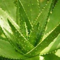beautiful greenhouses - 20 Aloe Seeds Mix Excellent House Plants succulent Greenhouse home ALOE VERA beautiful gardens TT270