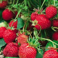 Wholesale 50Pcs Red Strawberry Climbing Strawberry Four Season Fruits Seeds VAD