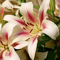 Wholesale A Package Pieces Lily Seeds Red Heart White Lilium Brownii Seeds Balcony Bonsai Plant Lily Flower Seeds
