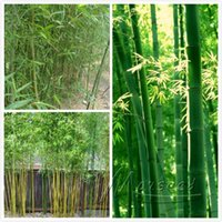 bamboo tree care - Heirloom Chinese Bamboo Seeds Bonsai Tree Need Almost No Care