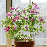 beautiful patios - 300 red Clematis Seed Patio And Garden Plants Potted Flowers Beautiful Clematis Climbing Plants Seeds