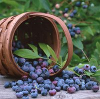 Wholesale 2016 Limited Promotion Herbs Plastic Pot Seeding BlueBerry Seeds Pack About Pieces Package Blueberry Fruit Seeds Diy Countyard