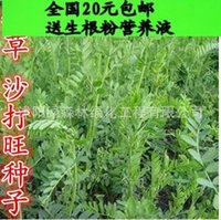 astragalus seeds - Perennial forage seed milkvetch seed to seedling upright Astragalus Madou sandy pasture seed seed