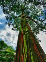 Wholesale Heirloom Hawaii Rainbow Eucalyptus Seeds Bonsai Tree Good Feeling