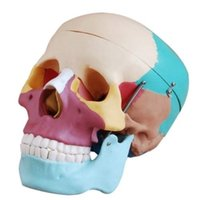 anatomical skull model - Clareador Dental lab Dentist teeth whitening oral hygiene Life Size Human Skull Anatomical Anatomy Skeleton Medical Model