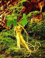 Cheap Wholesale - Huge 200+ Hardy Chinese korea panax ginseng seeds Wild ginseng seed