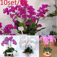 bonsai - 10set New Hot Mix Color Phalaenopsis Flower Bonsai Plant Butterfly Orchid Seeds SV003925