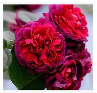 Wholesale European Seed month Rose Flower Seeds Pieces Seeds Spring Per Package New Arrival Red Color Cheap Garden Supplies Plants