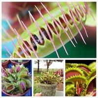 Wholesale 1 Original Pack approx Seeds Pack Venus Flytrap Premium Dionaea Muscipula Dioneia Plant Seed SM01