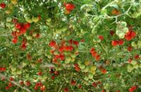 Cheap Tomato Tree Seeds Best tomato tree