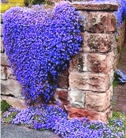 Wholesale 50 Rock Cress Bright Blue seeds PERENNIAL FLOWERING GROUNDCOVER SEEDS so beautiful and easy to grow SS210