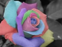 al por mayor rainbow rose seeds-Las semillas de la nueva llegada vendedora caliente del arco iris Rose Seeds * 100 piezas por paquete * Envío gratuito plantas del jardín