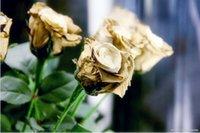 Wholesale Rare in the World Bonsai golden rose seeds flower seeds