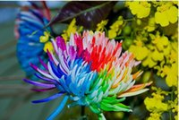 Wholesale 100 Piece Rainbow Chrysanthemum Flower Seeds rare color new arrival DIY Home Garden flower plant