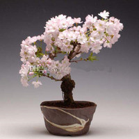 Cheap Wholesale cheap Sakura on Best Bonsai - Find best Hot Se
