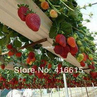 Wholesale 500 Climbing Red Strawberry Seeds With SALUBRIOUS TASTE NON GMO Strawberry Mount Everest EDIBLE Fruit Heirloom Vegetables