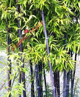 bamboo container gardening - Purple Bamboo Seeds Bonsai Tree So Easy Container Gardens