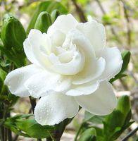 beautiful jasmine - 1 Cape Jasmine real seed GARDENIA JASMINOIDES Very Fragrant and Beautiful DIY Garden flower bonsai plant SS038