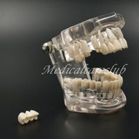 Wholesale Fashion Ahead Dental Teeth Study Model Classic Implant Typodont Model Restoration removable