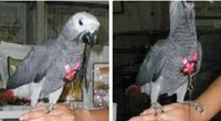 Wholesale Adjustable Parrot Bird Harness for birds Training leash Playing Fluorescent colors
