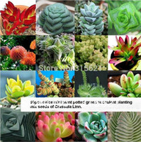 Wholesale office mini plant potted green succulent planting mix seeds of Crassula Linn