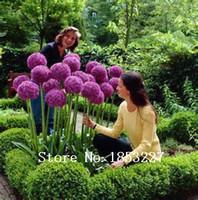 allium plants - 100 Purple Giant Allium Giganteum Beautiful Flower Seeds Garden Plant the budding rate rare flower for kid