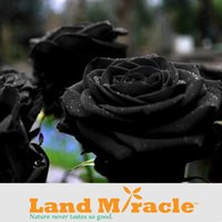 Wholesale 1 Professional Pack seeds pack China s Wild Rose Seeds Pure Black Rose Land Miracle M57