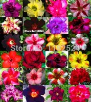 adenium seeds - Fresh Rare quot Blue Sky quot Adenium Obesum Seeds Bonsai Desert Rose Flower Plant Seeds