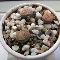 Wholesale Meaty Plant Fashion Cute Colorful and Lithops Potted Hot Office Mini and Lovely Beautiful Meaty Plant